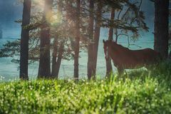Mystic sunrise over the mountain. Wild horse grazing in the mead royalty free stock photos