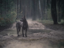 Mystic thai ridgeback dog in forest Royalty Free Stock Photos