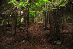 Mystic tree forest. And rocks Stock Photography