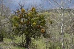 Mystic tree with mistletoe. Stock Images