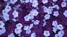 Mystic violet flowers background Stock Image