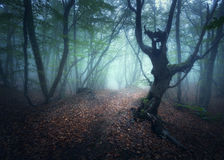 Mystical autumn foggy forest in the morning. Old Trees Royalty Free Stock Photography