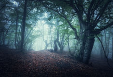 Mystical autumn foggy forest in the morning. Old Trees Royalty Free Stock Photo