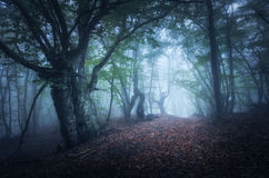 Mystical autumn foggy forest in the morning. Old Trees Stock Photos
