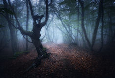 Mystical autumn foggy forest in the morning. Old Trees royalty free stock images