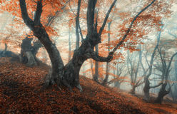 Mystical autumn forest in fog. Magical old trees in clouds. Colorful landscape with foggy forest, trail, orange foliage in Crimea. Fairy forest in autumn. Fall Royalty Free Stock Photos