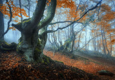 Mystical autumn forest in fog. Magical old trees in clouds Stock Image
