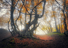 Mystical autumn forest in fog. Magical old trees in clouds Royalty Free Stock Photography