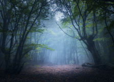 Mystical autumn forest in fog in the morning. Old Tree. Forest in fog. Enchanted autumn forest in fog in the morning. Old Tree. Beautiful landscape with trees Stock Image