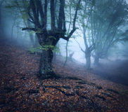Mystical autumn forest in fog in the morning. Old Tree Royalty Free Stock Photos