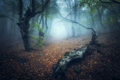 Mystical autumn forest in fog in the morning. Old Trees stock photo