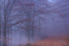 Mystical  Autumn Forest. Mystical  Foggy Autumn Beech trees Forest Royalty Free Stock Images
