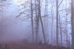 Mystical  Autumn Forest. Mystical  Foggy Autumn Beech trees Forest Royalty Free Stock Photo