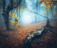 Mystical autumn forest with path in fog. Old Tree Royalty Free Stock Photography