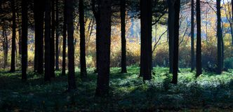 Mystical autumn forest. Sunshine in the foggy mystical autumn forest royalty free stock images