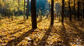 Mystical autumn forest. Sunshine in the foggy mystical autumn forest stock photography