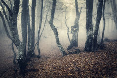 Mystical autumn forest with yellow fog in the morning Royalty Free Stock Photos
