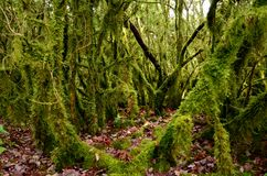 Mystical beautiful mossy forest scenery, France. Mystical beautiful mossy forest scenery with a closeup of trees covered by moss, France royalty free stock images
