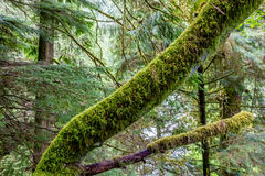 A Mystical Cedar Log Heavily Covered with Moss Royalty Free Stock Images