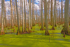 Mystical Colors in a Cypress Swamp Royalty Free Stock Photo
