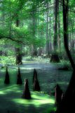 Mystical cypress swamp. Ancient cypress swamp in southern Illinois royalty free stock photos