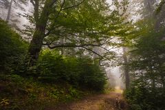 Mystical deep fog in a forest Royalty Free Stock Photo