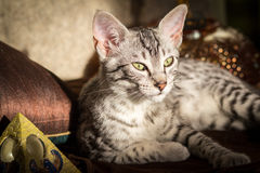 Mystical Egyptian Mau posing with pyramids Royalty Free Stock Photography
