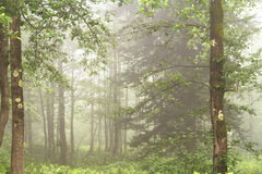 Mystical Foggy Forest Royalty Free Stock Photos