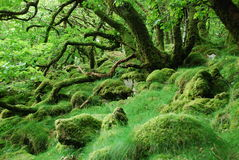 Mystical forest. A mystical and very green forest in Dartmoor royalty free stock photo