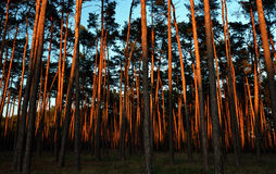 Mystical forest. Beautiful autumn pine forest, strange illuminated by evening sun Stock Images