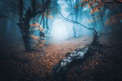 Mystical forest in blue fog in autumn. Colorful landscape. Beautiful mystical forest in blue fog in autumn. Colorful landscape with enchanted trees with orange royalty free stock images