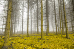 Mystical forest with fog and yellow foliage Stock Images
