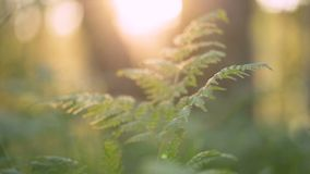 Mystical forest landscape - fern lit by the rays of the sun in a dark forest. The camera slowly moves to the left, the glare from the sun in the lens stock video footage