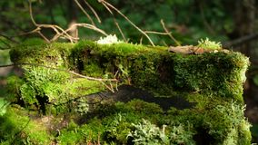 Mystical forest. Log in the woods in the moss. Moss. Boulders in the forest woods, rocks covered by moss and colorful stock image