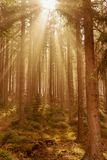 Beams of light in the fir forest with mystical mood. And light royalty free stock photo