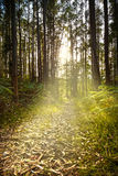 Mystical forest at sunset Stock Photos