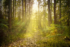 Mystical forest at sunset. Footpath trough eucalyptus forest against sunset sumbeams Stock Photography