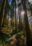 A mystical forest. With tall straight pine trees stock photos