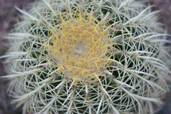 Mystical Golden Barrel Cactus. With white and yellow spines in home garden royalty free stock images