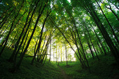 Mystical green forest in back-lit of sun Royalty Free Stock Images