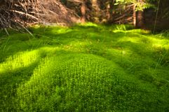 Wood deep moss in the forest. Green moss in the Carpathians. Royalty Free Stock Image