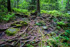 Mystical green forest with wet dark roots, tree trunks and stones. Mystical green forest with wet dark roots, tree trunks and stones, horizontal composition stock photos