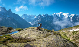 The mystical landscape of mountain sheep, which contemplates Mon. T Blanc in the French Alps, Europe. (Relaxation, tourism, anti-stress - concept Royalty Free Stock Photos