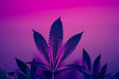 Mystical and Magical California Cannabis Plant  Stain Fire OG Royalty Free Stock Images