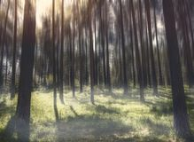 Mystical and magical forest with sunset. And light fog in it stock photography