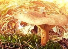 Mystical mushroom Royalty Free Stock Photos