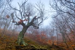 Mystical old tree snag without leaves on a foggy autumn day in the mountains royalty free stock photos