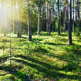 Mystical pine forest Royalty Free Stock Photography