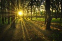 Mystical Pinelands royalty free stock image