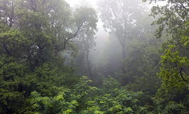 Mystical rainforest covered in fog Royalty Free Stock Photography